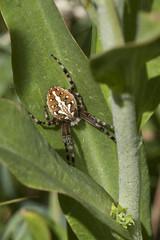 Patient (Jeff Mitton) Tags: orbweaver aculepeirapackardi spider uncompahgreplateau colorado earthnaturelife wondersofnature