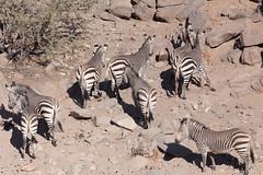 Hustle and bustle at the waterhole (dieLeuchtturms) Tags: 3x2 africa afrika bergzebra equidae equuszebra equuszebrahartmannae hartmannbergzebra hobatereconcession kunene namibia perissodactyla pferde säugetiere unpaarhufer vertebrata vertebrates wirbeltiere mammals mountainzebra