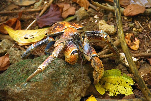"Robber crab • <a style=""font-size:0.8em;"" href=""http://www.flickr.com/photos/137365235@N06/32706633363/"" target=""_blank""></noscript>View on Flickr</a>"