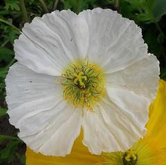 """Un P'TIT COUP d'BLANC ! (♥charlyzamour♥ """" vous remercie pour vos visite) Tags: france pavots printemps fleurs blanc"""