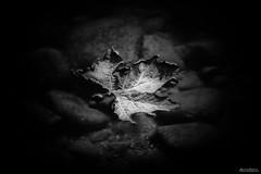 Foglia (gf   photographer) Tags: nature leaf landscape bw blackandwhite