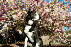 Bonny surrounded by Blossoms 12/52/2017 (smile KB) Tags: 52weeksfordogs bonny blossoms blooms tree leapdog