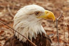 Norfolk Virginia Bald Eagle (James Kellogg's Photographs) Tags: bald eagle raptor fish eater all american america national bird fowl canon eos 7d mark ii ef70200mm f28l is usm 2x iii 400mm portrait