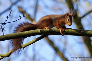 Sciurus vulgaris  ofte rode eekhoorn