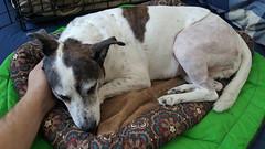 Home and Comfy - 47/365 (prestonciere) Tags: hamilton ontario canada ca 365the2017edition 3652017 day47365 16feb17 dogs