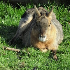 Mara enjoying the afternoon sun (LadyRaptor) Tags: yorkshirewildlifepark yorkshire wildlife park doncaster ywp nature outdoors cute sitting resting sun sunbathing posing animal animals mammal mammals rodentia rodent rodents caviidae dolichotinae patagonian mara cavy cavies hares dolichotispatagonum south america viva