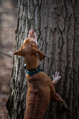 Treed (Portraying Life, LLC) Tags: michigan unitedstates vizsla handheld nativelighting closecrop dog