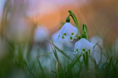Frühlingsbote (epioxi) Tags: epioxi frühling snowdrop srping signofspring sunset flower white märzenbecher leucojum vèrnum leucojumvèrnum
