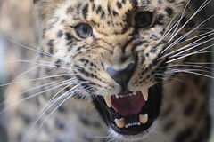 Growling (carlo612001) Tags: amur leopard beast eyes mouth amurleopard parcofaunisticolatorbiera cute beautiful beauty cat animals charming nature wild wildbeast cats roar roaring jaws teeth tongue leopardo leopardodellamur parcolatorbiera occhi ngc nationalgeographic