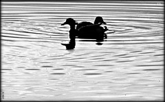 Two years ago  4.02.2015  (2) (~nevikk~) Tags: pairs ducks mississippiriver bw kevinkelly waterripples opposites