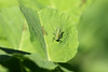 ..verde nel verde.. (Carla@) Tags: tettigoniaviridissima ortotteri insetti wildlife nature liguria italia europa mfcc canon explorenaturethewildnature coth alittlebeauty thesunshinegroup coth5 sunrays5 naturallywonderful