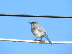 Woodhouse's Scrub Jay (ws.barbour) Tags: animal jay scrubjay woodhousesscrubjay