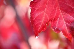 Dew Drop (BattysGambit) Tags: 2017 australia victoria melbourne autumn canon 7d dslr sigma 18mm 250mm zoom lens foliage red lipstick maple tree leafer nature fall closeup upclose bluesky majestic majesty dew morning drop