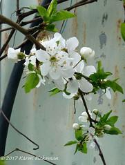 March 14th, 2017 Cherry plum blossom (karenblakeman) Tags: cavershamgarden caversham uk cherryplum prunuscerasifera blossom march 2017 2017pad