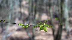 genç yapraklar