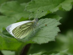 Green-veined White (ukstormchaser (A.k.a The Bug Whisperer)) Tags: greenveined white butterfly butterflies fly flies animal animals insect insects basking resting macro april spring afternpon