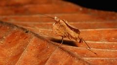 Boxer Mantis Nymph (likely Hestiasula sp. Hymenopodidae) (John Horstman (itchydogimages, SINOBUG)) Tags: insect macro china yunnan itchydogimages sinobug praying mantis nymph brown hymenopodidae topf25