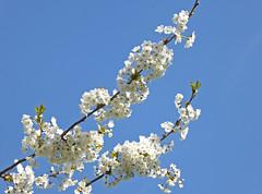 2017.03.27.04 NOISY-LE-GRAND - Cerisiers (alainmichot93 (Bonjour à tous - Hello everyone)) Tags: 2017 france îledefrance seinesaintdenis noisylegrand arbre cerisier fleur flora flower blanc bleu ciel