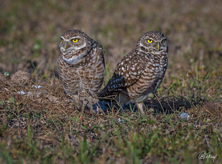 Burrowing Owls Bookends