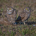 Burrowing Owls Bookends (Chris St. Michael) Tags: burrowingowl owl bird animal birdofprey nature wildlife naturephotography