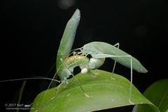 Mating Katydids_MG_5948 copy (Kurt (OrionHerpAdventure.com)) Tags: katydid orthoptera mating