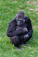 Gorila  240317-8108 (Eduardo Estéllez) Tags: park national gorilla cabarceno background white isolated nature black animal looking play forest wild family wildlife portrait africa spain jungle species endangered monkey primate adult african big cantabria close eating face great head intelligent leader lowland mammal powerful silverback strong vertical color estellez eduardoestellez