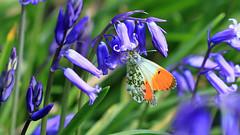 Orange Tip - Female. Anthocharis cardamines (jaytee27) Tags: orangetipfemale anthochariscardamins naturethroughthelens