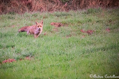 Volpe Rossa (Castello foto) Tags: volpe mammifero bosco wildlife wildfotography mattina furba curiosa