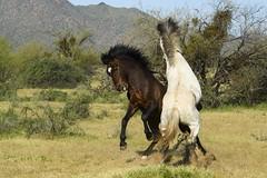 Let's fight... (fenicephoto) Tags: wildhorses horses arizona stallionsfight
