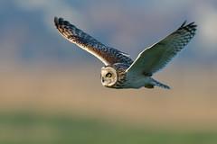Short-eared Owl (Marvandae) Tags: shortearedowl velduil uitkerksepolder asioflammeus