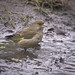 Mrs Greenfinch