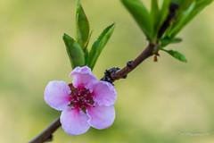 Spring is here (Milen Mladenov) Tags: 2017 d3200 nikon blossom bokeh flowers green leafs pink spring stamens