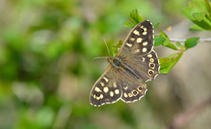 Speckled Wood (Pararge aegeria). (Bob Eade) Tags: speckledwood parargeaegeria butterflies butterfly insect nature macro brown wildlife woodland lewes lepidoptera eastsussex