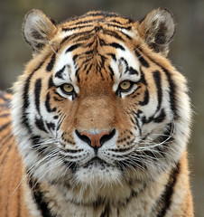 amurtiger Taymir Ouwehands BB2A3048 (j.a.kok) Tags: tijger tiger amurtiger amoertijger taymir pantheratigrisaltaica kat cat zoogdier mammal predator asia azie ouwehands ouwehandsdierenpark