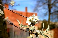 Lente in de Leuvense Kruidtuin (Kristel Van Loock) Tags: leuven louvain lovanio lovaina hortusbotanicuslovaniensis leveninleuven drieduizend seemyleuven visitleuven atleuven loveleuven kruidtuin kruidtuinleuven leuvensekruidtuin jardinbotanique jardinbotaniquedelouvain jardimbotanico jardinbotanico botanicalgarden botanischetuin botanischergarten ortobotanico lente spring lente2017 maart2017 march2017 springseason printemps primavera springisintheair lenteindekruidtuin botanischetuinvanleuven vlaanderen vlaamsbrabant visitflanders visitflemishbrabant visitvlaamsbrabant flandre fiandre flanders visitlouvain brabantflamand brabantefiammingo flemishbrabant belgium visitbelgium belgio belgique belgien belgica belgië toerismevlaanderen toerismevlaamsbrabant bloesem blossom