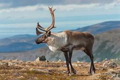 Caribou, Parc de la Gaspésie (Liberté55) Tags: faune parcdelagaspésie gaspésie caribou montjacquescartier
