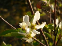 Gewöhnliche Felsenbirne (Jörg Paul Kaspari) Tags: eller diecalmonttour frühling spring april calmont calmontklettersteig wanderung wandertour blüte flower white weise amelanchierovalis gewöhnliche felsenbirne