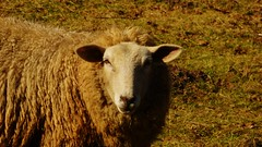 Hello Sheep (obscure.atmosphere) Tags: tier animal 動物 동물 wild tierwelt wildlife schaf sheep hair haar hairstyle frisur hamburg germany deutschland sonnenschein sonnenlicht licht light ligero lumiere 光 빛 sunlight sunshine dusk abend sonnenuntergang 日没 일몰 夕暮れ 황혼 sundown sunset 日 태양 anochecer atardecer ocaso sol crepuscule soleil natur nature naturista naturaleza 自然 자연 wald forest bosque selva foret 森林 숲 woods landscape landschaft paisajes region paysage 景色 의풍경 funny twilight frühling spring primavera printemps 春 봄 look grass gras