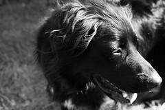 260317contrastrip (slyelessar) Tags: dog ripley animal creature blackwhite monochrone fujifilm xt1 fuji
