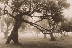 In elder days and years of yore (mkIII) (RicardoPestana2012) Tags: fanal tree fog sepia madeira madeiraisland mist misty foggy eerie dark atmosphere ilha da summoning tolkien