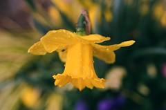 Easter Daffodil (Martin Smith - Having the Time of my Life) Tags: daffodil 35mmfilm film filmcamera filmgrain filmisnotdead bokeh bokehlicious martinsmith ©martinsmith nikonfe2 nikkor55mmf28micro manualfocus drops macro flower
