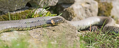 Grass Snake (drbut) Tags: grasssnake natrixnatrix reptile nature wildlife outdoor