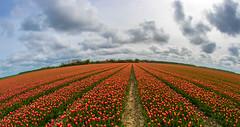 tulip fields (a.limbeek) Tags: bloemenenplanten tulipfields polder voorjaar