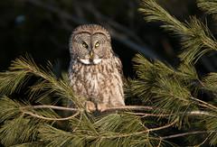 Great Gray Owl (NicoleW0000) Tags: great gray owl wild wildlife bird photography outdoors ontario