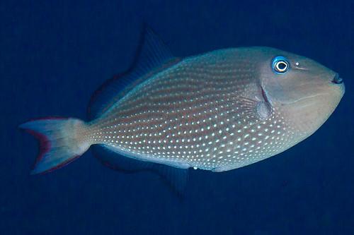 Gilded Triggerfish, female - Xanthichthys auromarginatus