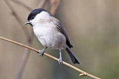 Another Marsh Tit (Roy Lowry) Tags: marshtit leightonmoss poecilepalustris