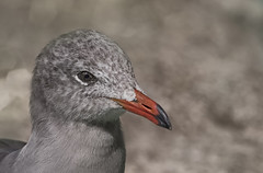 Seagull II (z_a_r_a___c_a_l_i_s_t_a) Tags: nature bird aquatic light head portrait wild eyes nikon nikkor
