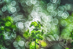 Bokeh Garden (Dhina A) Tags: a7rii ilce7rm2 a7r2 edar 100mm f28 edar100mmf28 100 28 vintage old antique projection projector lens bubble circle ring bokeh sony garden spring
