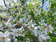 DSCN0221 (serega_moskalev) Tags: вишня цвет вишни цветки cerasus cherry flowers spring