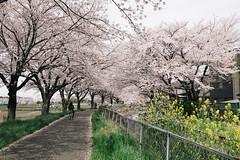 170410_036_5D3_5607 (oda.shinsuke) Tags: cherryblossom さくら 桜 flower vsco 見沼 菜の花